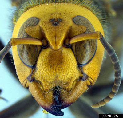Asian giant hornet face