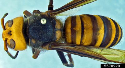Asian giant hornet top down view