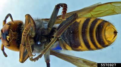 Asian giant hornet underside