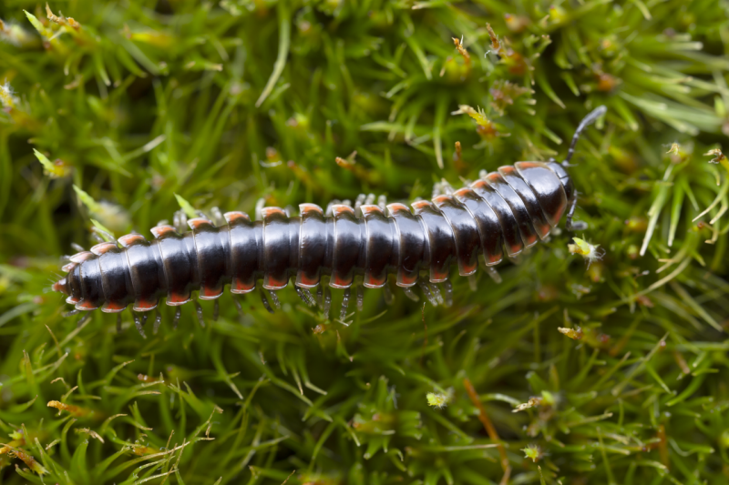 Picture of Nannaria hokie, the Hokie twisted claw millipede